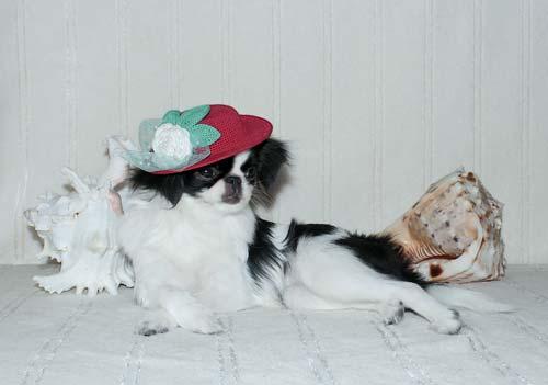 Японский хин Триша щенок